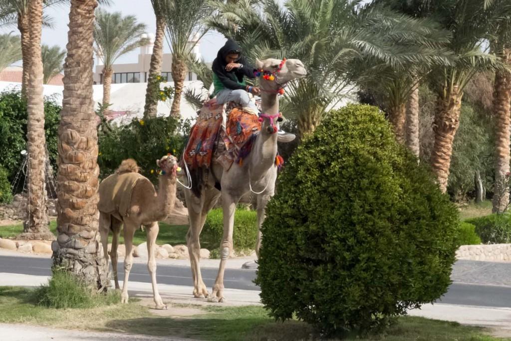 wielbład-old-market-sharm-el-sheikh